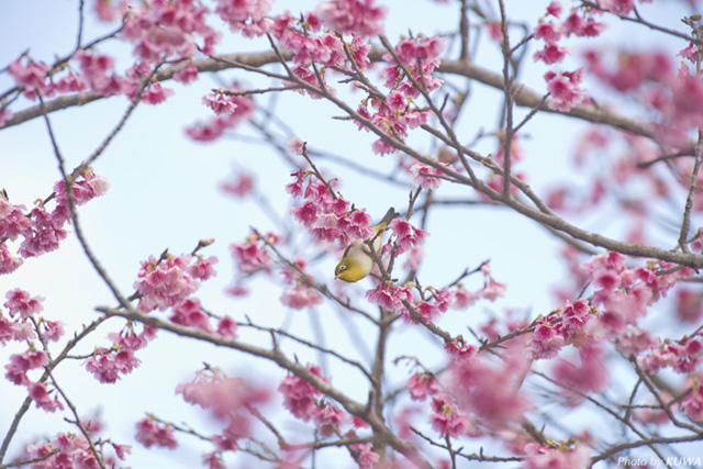 Little-Known Cherry Blossom Viewing Spot