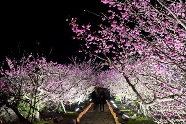 Yozakura Night-Viewing of Cherry Blossoms at Nakijin-jo Castle Site