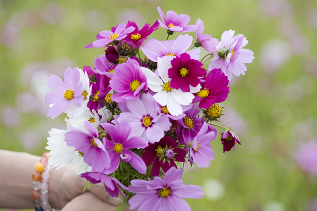 Okinawa's Cosmos Flowers are Now in Full Bloom!