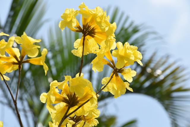 「イッペー」の花。今沖縄で咲いています!