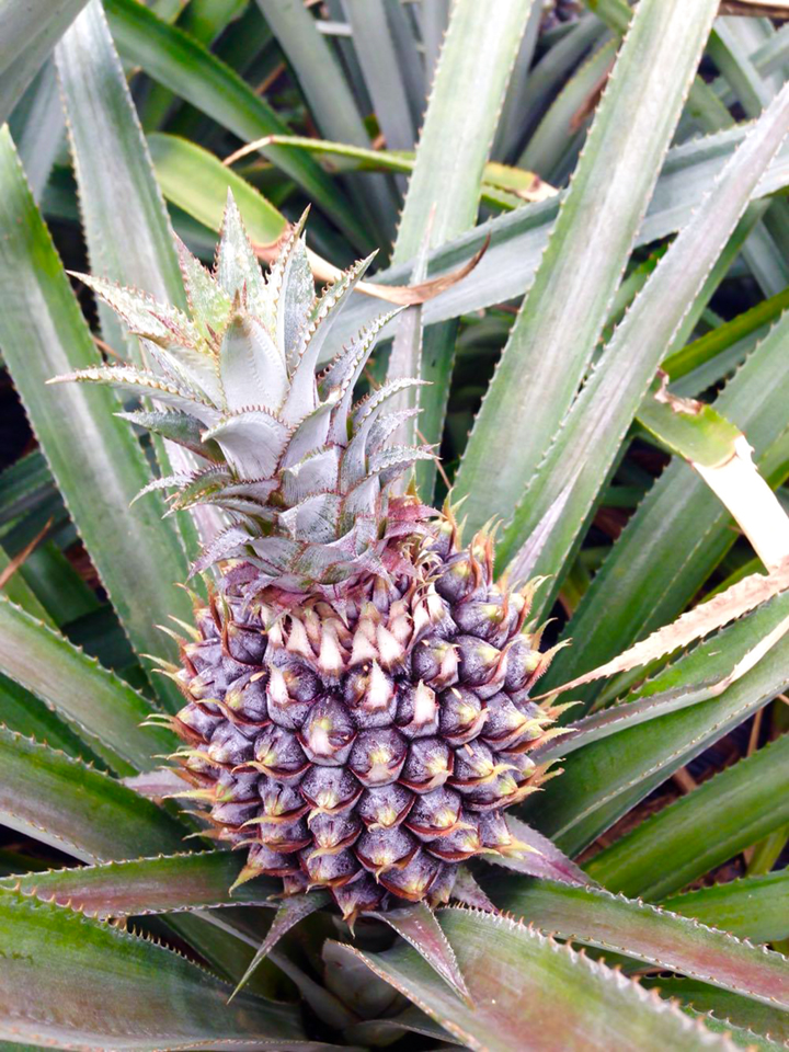 I Was Surprised When First Saw It And Knowing How Pineapple Grow At The Open Field