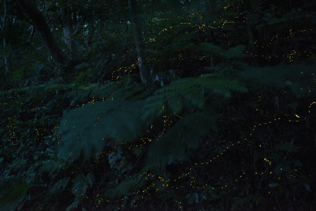 石垣島でヤエヤマヒメボタルを撮ってみませんか?(桑村ヒロシの島フォトコラム[第15回目])