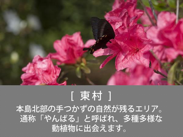 東村 本島北部の手つかずの自然が残るエリア。通称「やんばる」と呼ばれ、多種多様な動植物に出会えます。