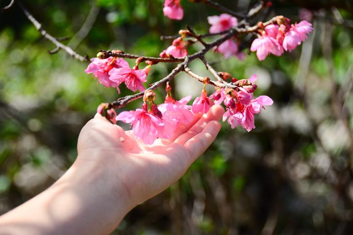 ふくよかな蕾が弾け、桜の花も満開。そんな沖縄から、子どもと巡る今帰仁(なきじん)ぶらり旅をご紹介。