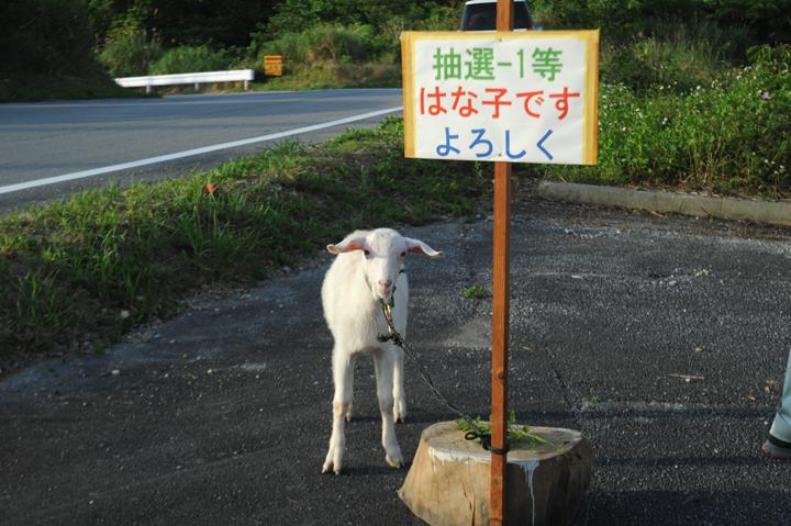 ピージャーオーラサイ(闘ヤギ)1等賞はなんと「子ヤギ」
