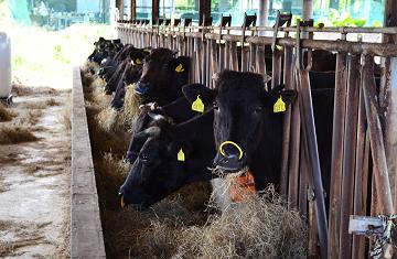 石垣島、ゆいまーる牧場の絶品石垣牛KINJOBEEFと石垣島アグー豚【PR】