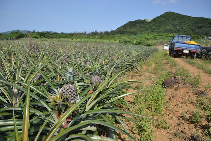 石垣島、パイナップル収穫体験