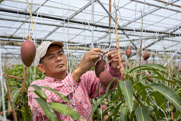 糖度15度以上! 減農薬にこだわる大宜味村のマンゴー「ひめぎみ」