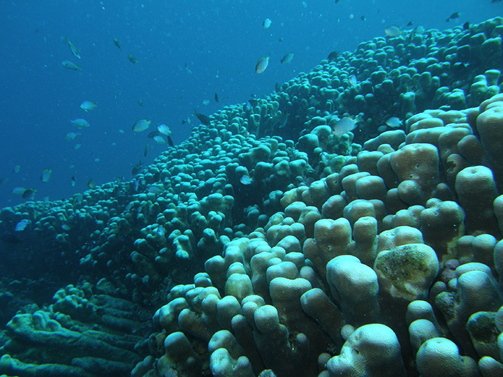 巨大サンゴ