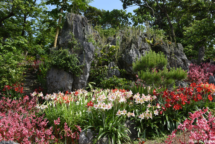 Spring flowers are full of bloom in okinawa izumi begonia garden flowers you can appreciate around this time are jadecolored emerald creepers pure white easter lilies vivid red amaryllis blue purple hydrangea mightylinksfo