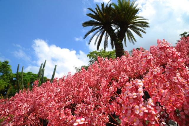 오키나와는 봄 꽃들이 만발! 봄에 추천하고 싶은『이즈미 베고니아 원』!