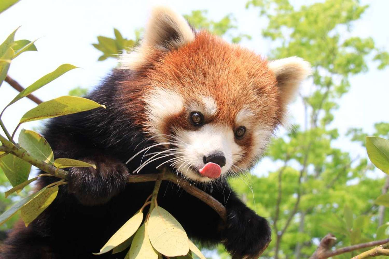 """Sacred place """"Nihondaira Zoo"""" of lesser panda great dissection!"""