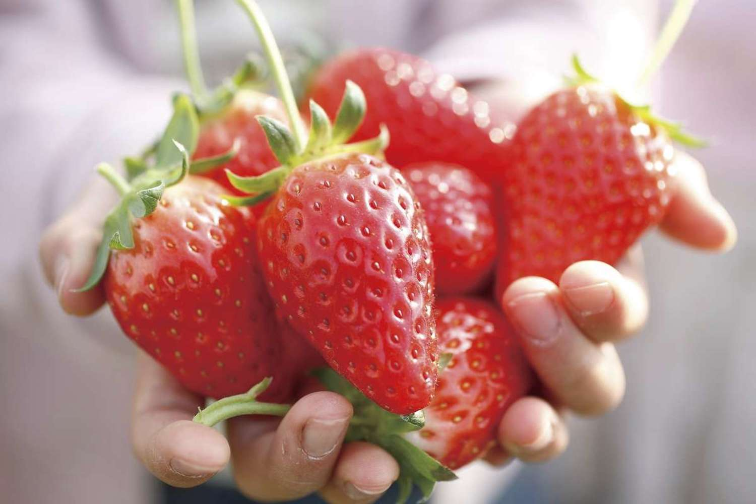 Fresh strawberry which has just finished being produced to heart's content! Strawberry hunting to enjoy in Izunokuni-shi