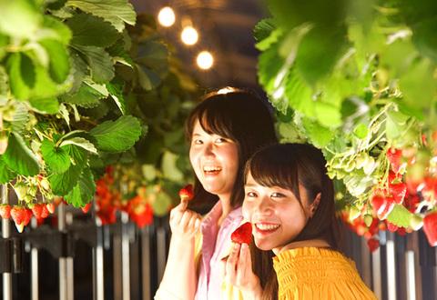 夜在早晨享受的摘草莓