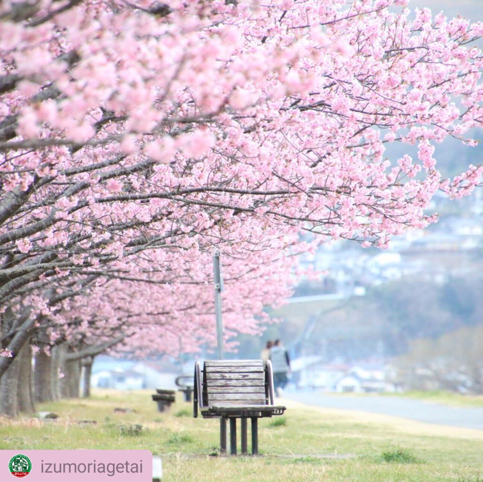 Shiroyama cherry tree Festival