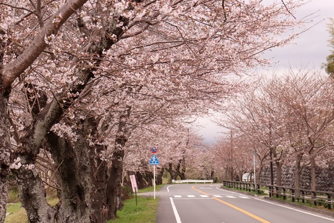 Taman Sakura kanogawa