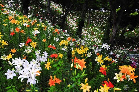Garden of kaneburi lily