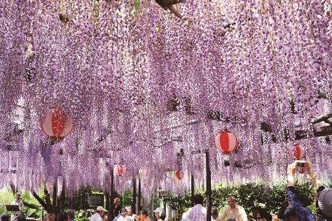 Long wisteria of Rinsenji