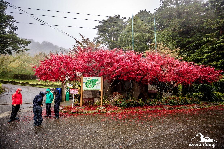 向陽登山口的楓紅此時已經盛開