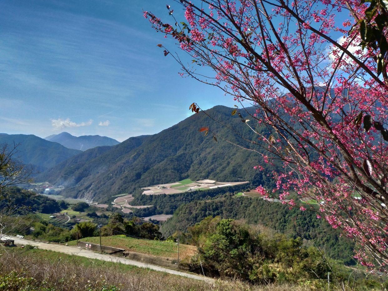 力行產業道路旁盛開的櫻花