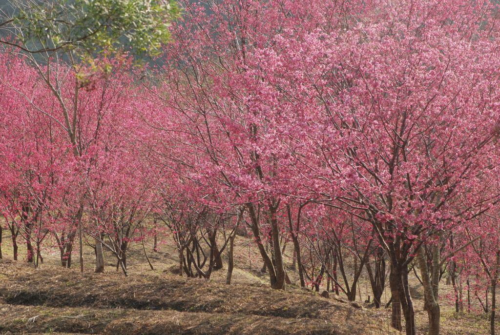 東勢林場的櫻花