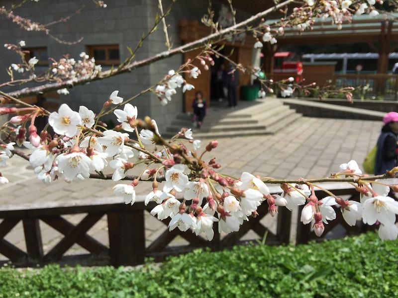 阿里山三月正是賞櫻季