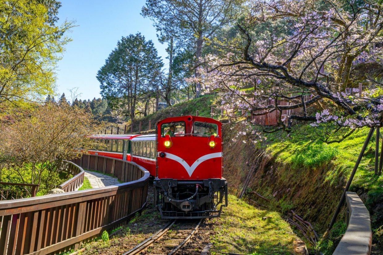 每到櫻花開,阿里山小火車的美更能凸顯