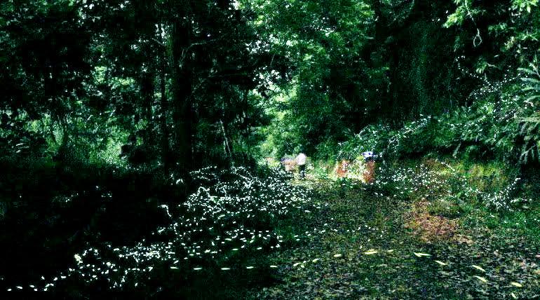 在台北,鄰近的坪林是個觀察螢火蟲生態的好地方。