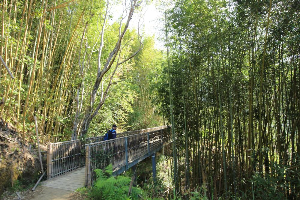 通往巨木區的桂竹林橋