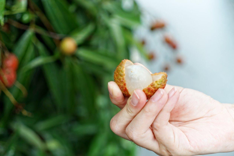 台灣人很愛黑葉荔枝的口感!
