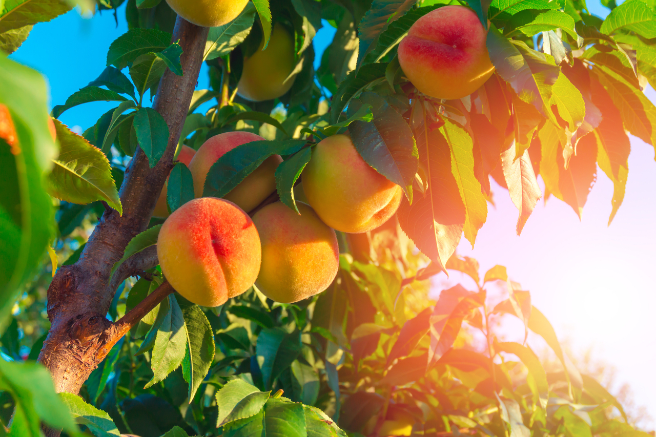 ▲水蜜桃雖好吃,但真的很難保存!