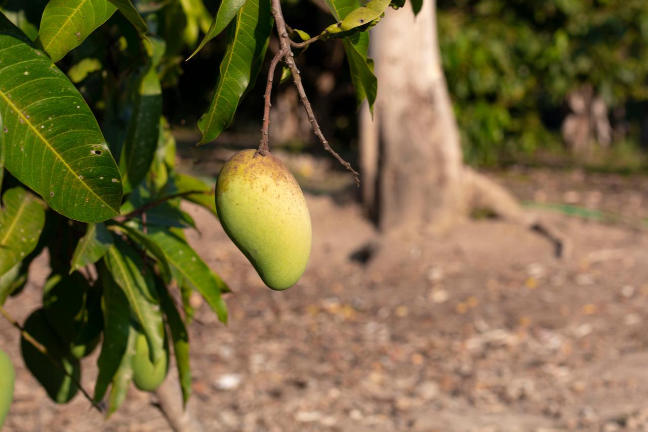 學會看看底部,才有機會吃到超好吃的芒果~
