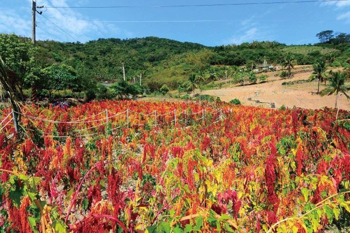 來台東賞紅藜!最詳細台東紅藜地圖看這篇|大自然最美的紅藜地毯