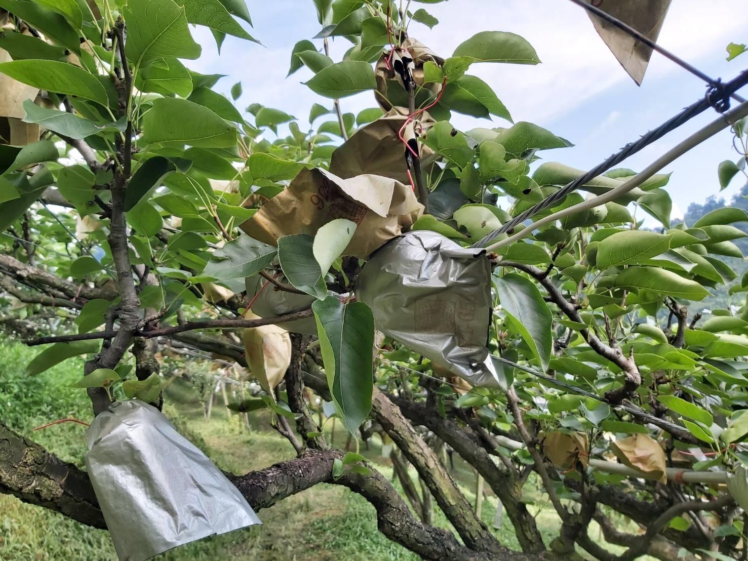 台灣梨子介紹 高接梨到底是什麼?梨子有哪些常見品種