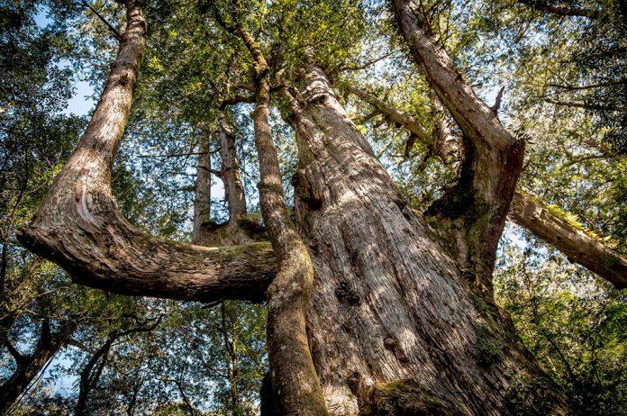 2020新竹必去景點|來場森林之旅!新竹司馬庫斯&鎮西堡這樣玩