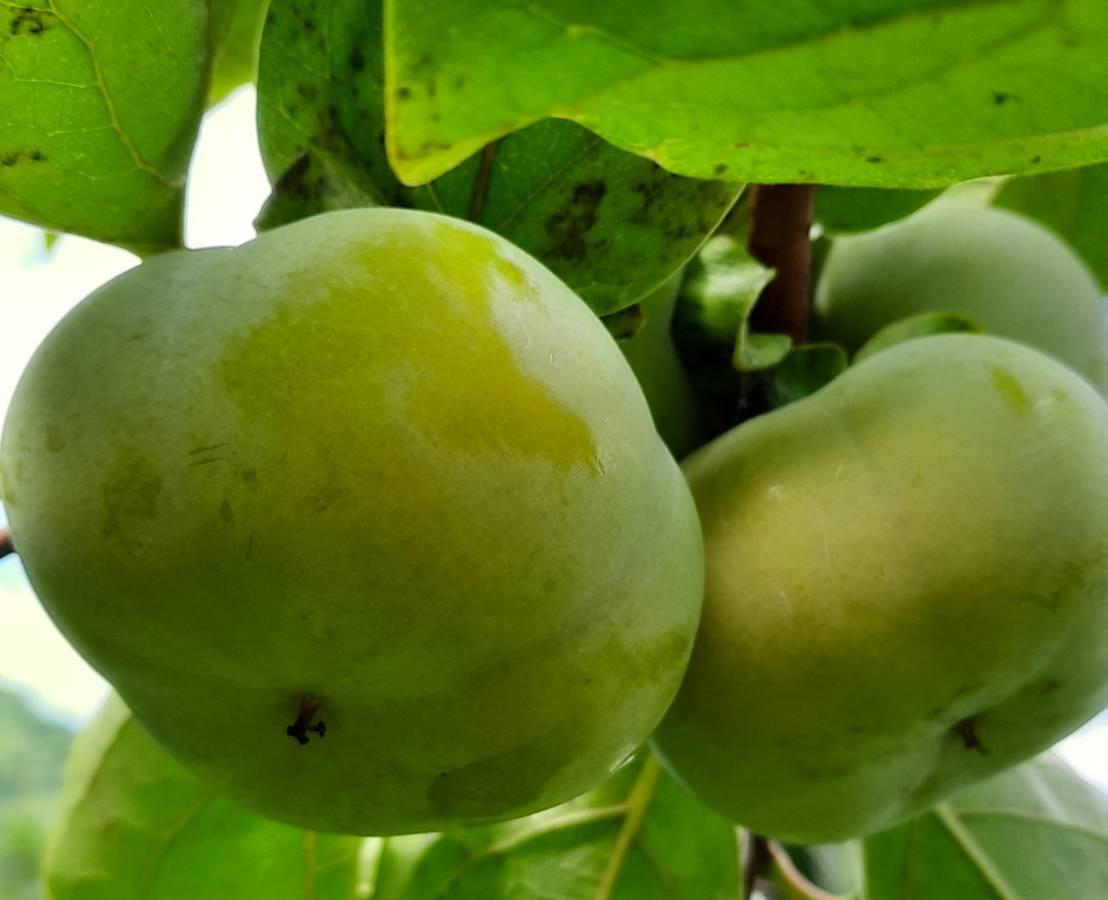 柿子品種:大雪山甜柿