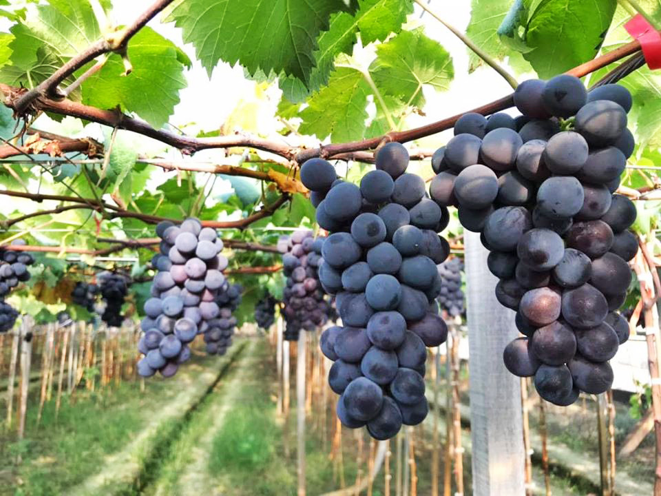 葡萄種類與營養