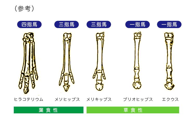馬の足の進化