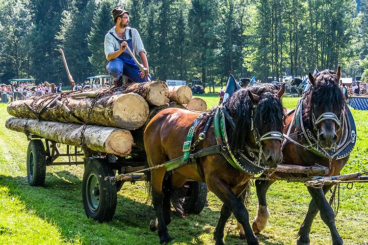 ロスターク当日の様子① 昔ながらの労働馬の出で立ち