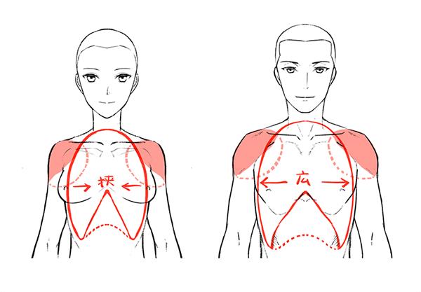 男女の肩幅の差