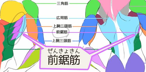 前鋸筋の特徴