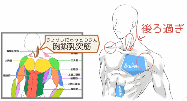上半身の正面の筋肉