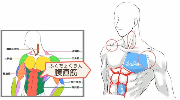 腹筋の描き方