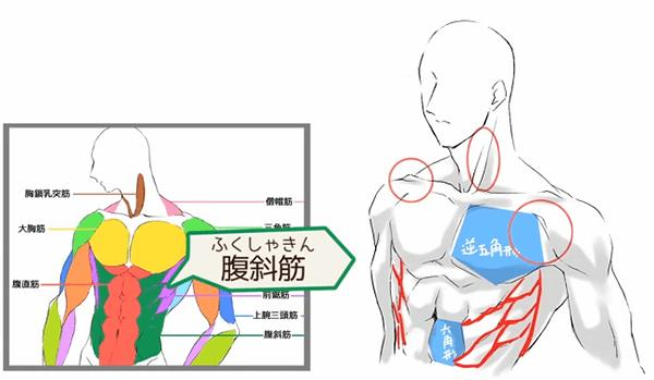 前鋸筋と腹斜筋の描き方