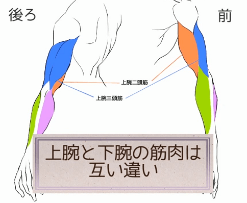上腕と下腕が互い違いの関係