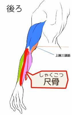 尺骨には筋肉がつかない