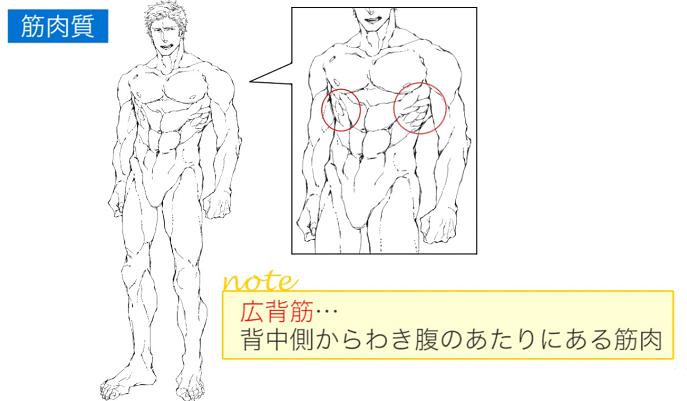広背筋はわき腹あたりの筋肉