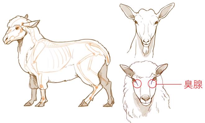 羊には臭腺がある