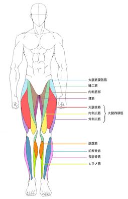 前面から見た下半身の筋肉図