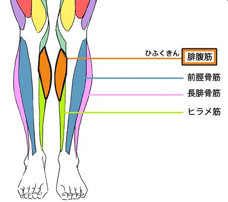 長腓骨筋や腓腹筋